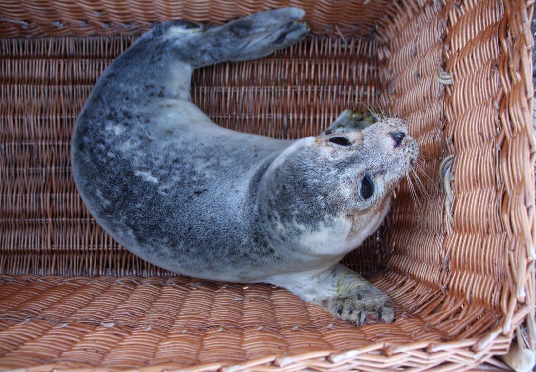 Weer een zieke zeehond op het strand van Noordwijk