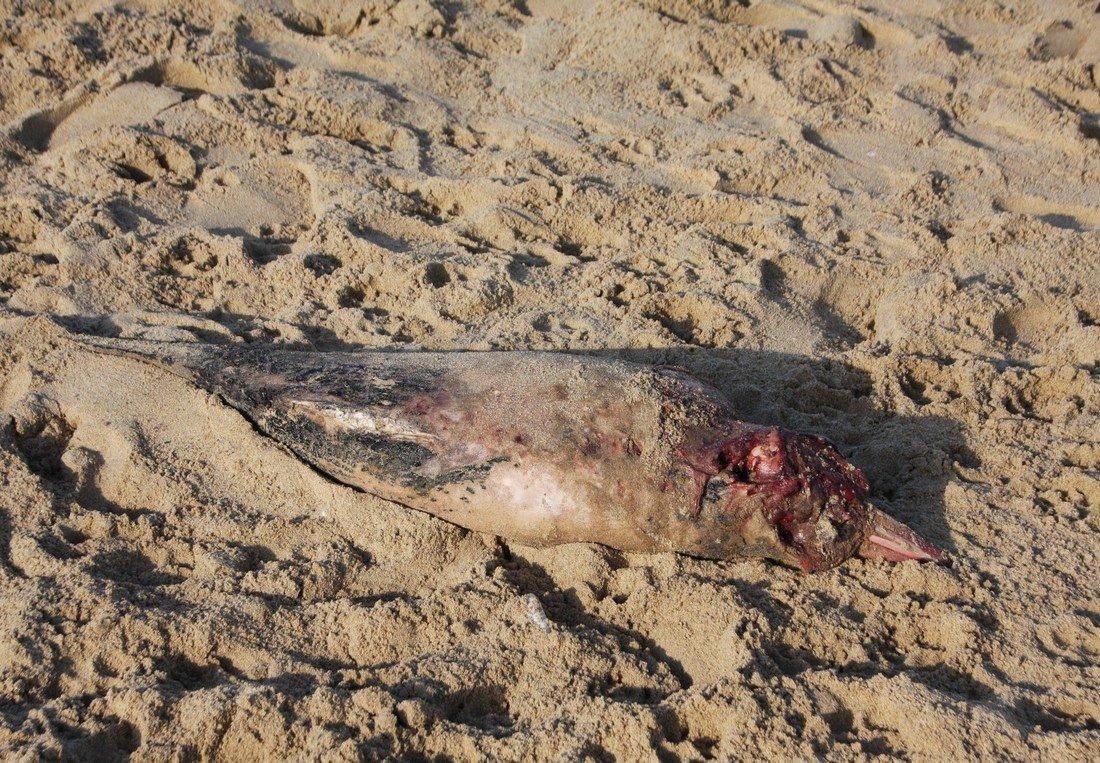 Dode bruinvis Scheveningen