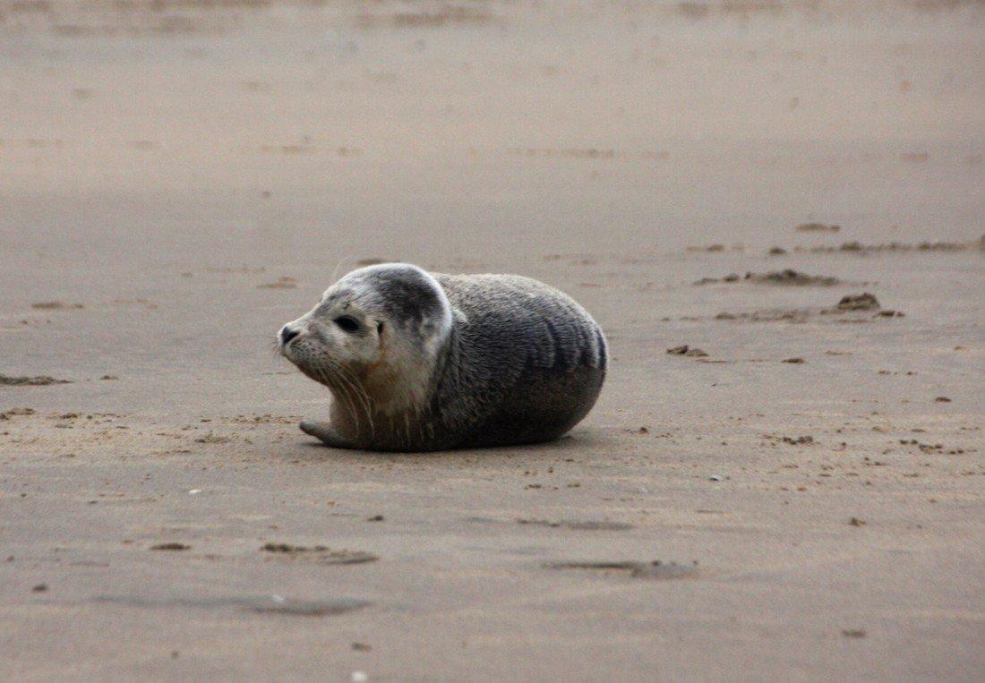 Zeehond Zandvoort