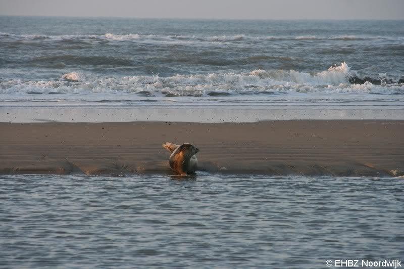 Zeehond op het strand van Noordwijk