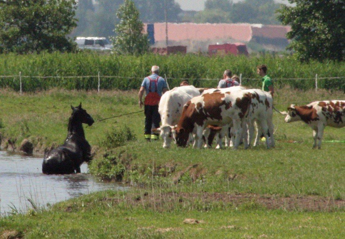 Paard te water Oosthoutlaan Voorhout