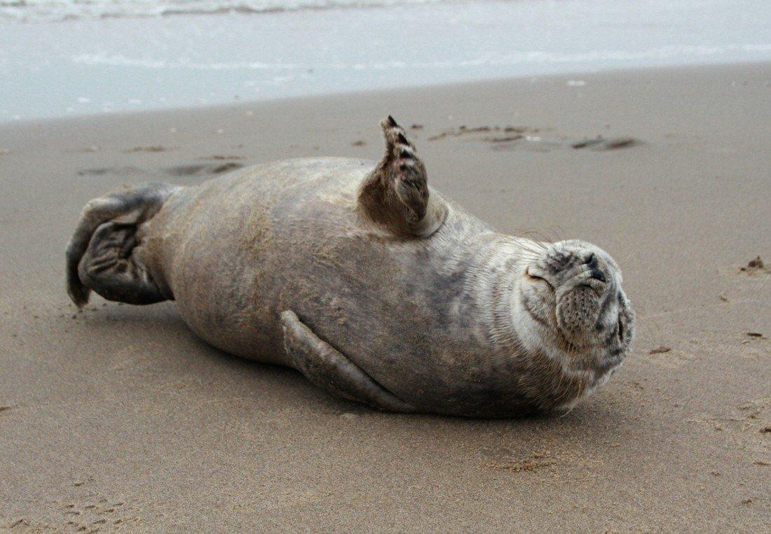 Opnieuw een melding over een zeehond op het strand van Noordwijk