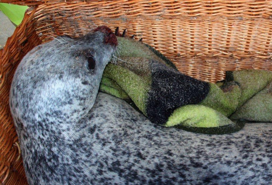 zeehond Kijkduin