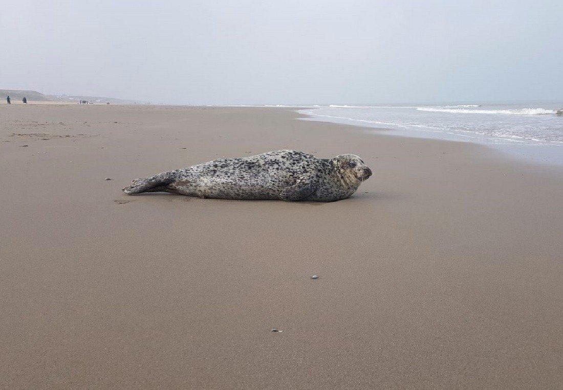 Zeehond op het strand tussen Katwijk en Wassenaar