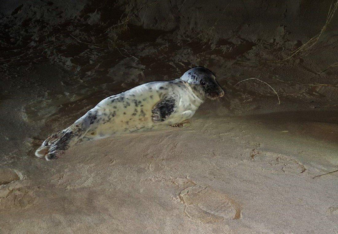 Jonge grijze zeehond Wassenaar
