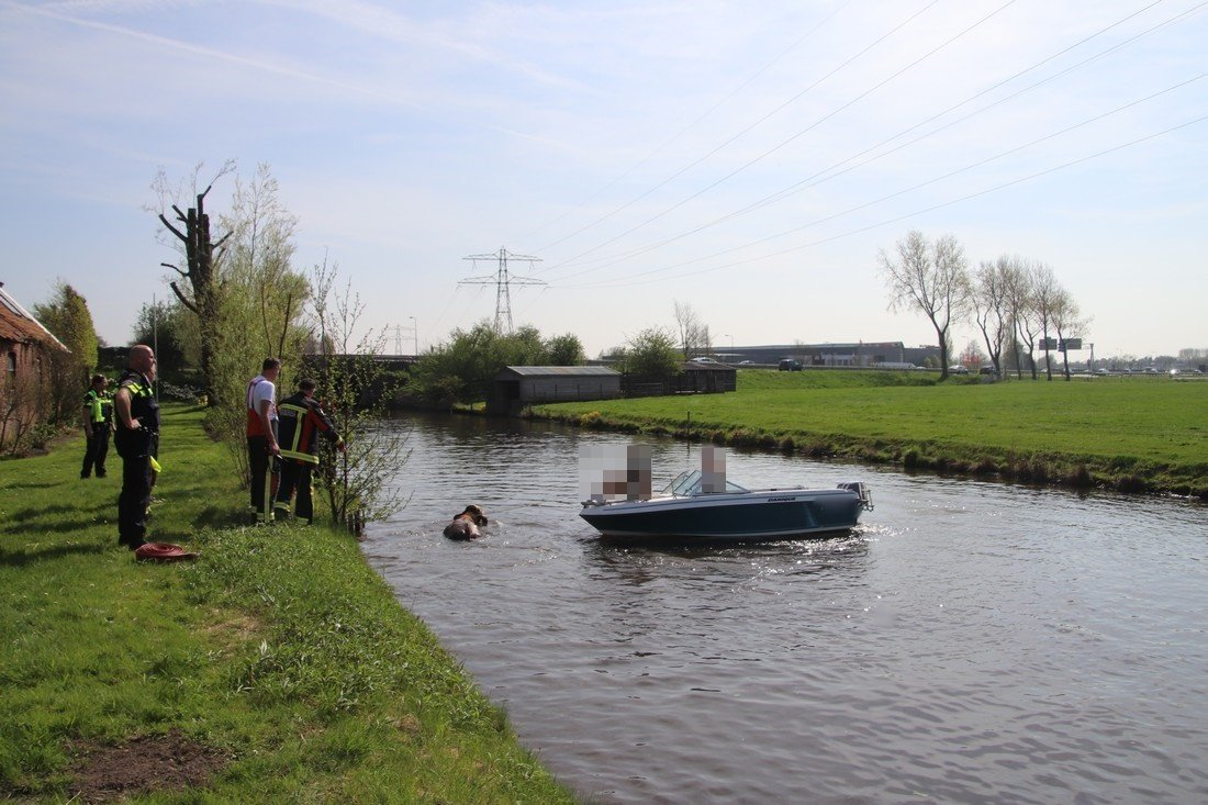 Koe te water Leidsevaart N444 Sassenheim