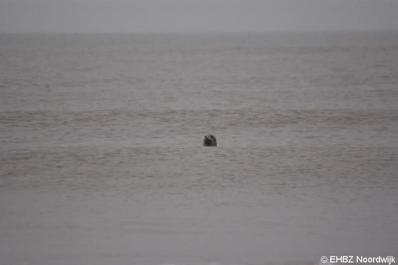 Zeehonden gespot Noordwijk