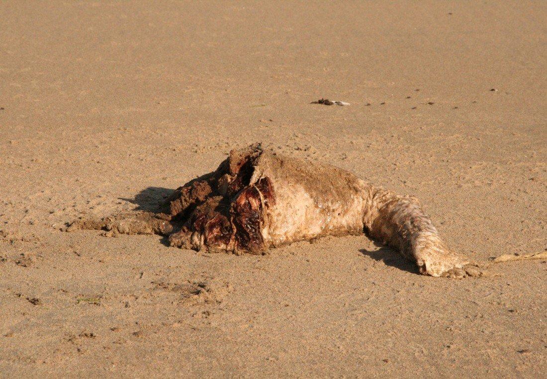 Dode bruinvis Noordwijk nr 2