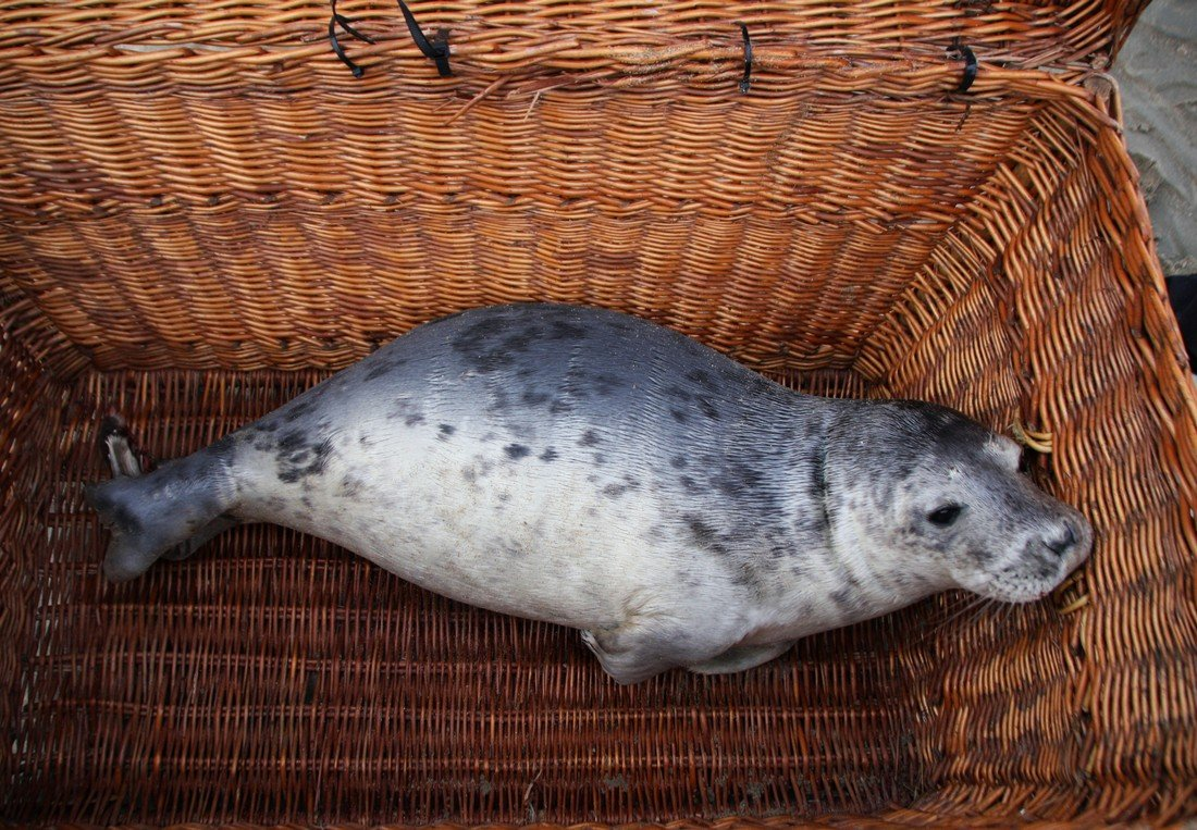 Zieke jonge grijze zeehond Duindamseslag Noordwijk