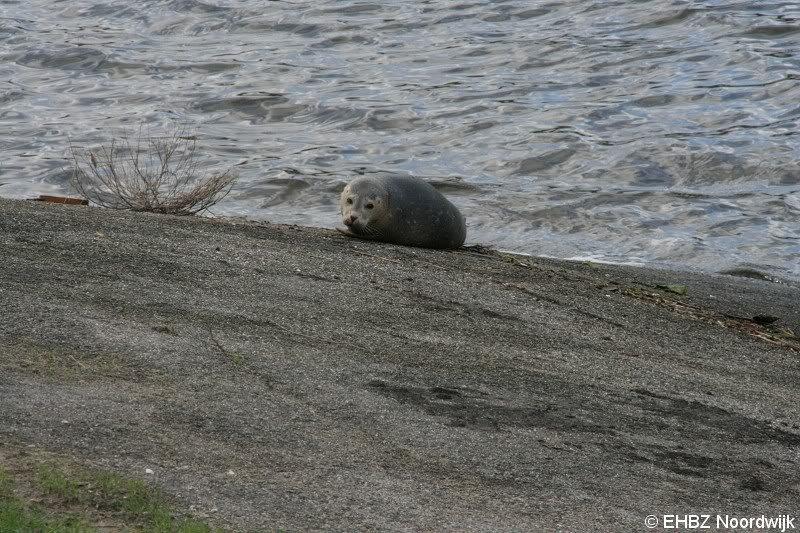 EHBZ houd de zeehond uitwatering Katwijk in de gaten