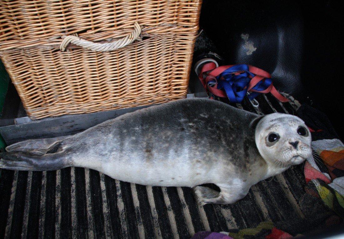 Ook vandaag twee zieke zeehonden voor de EHBZ Noordwijk/Katwijk.