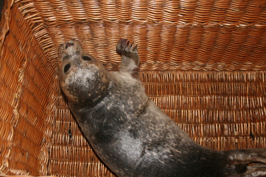 Zieke zeehond Wassenaar