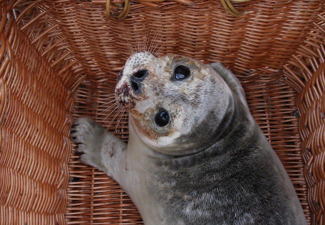 Zieke zeehond Katwijk