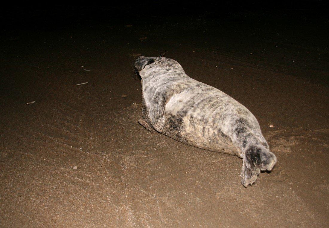 Opnieuw een jonge grijze zeehond Langevelderslag