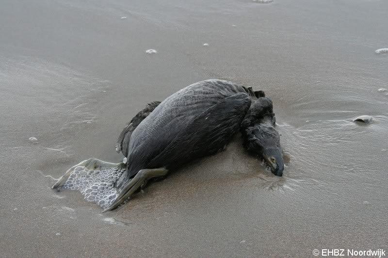 Dode zwarte zee eend