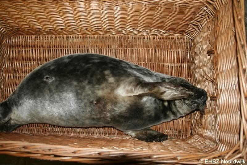 Twee zeehonden Noordwijk