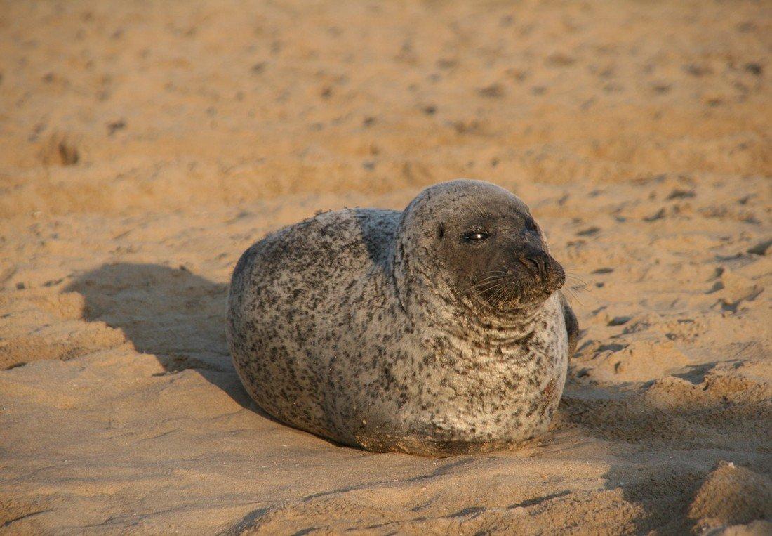 Zeehond trek veel belangstelling strand Noordwijk