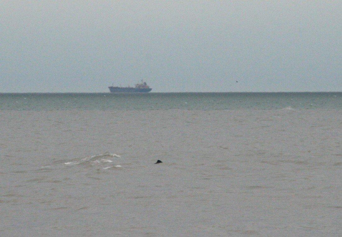 Meerdere bruinvissen te zien voor de kust bij Wassenaar