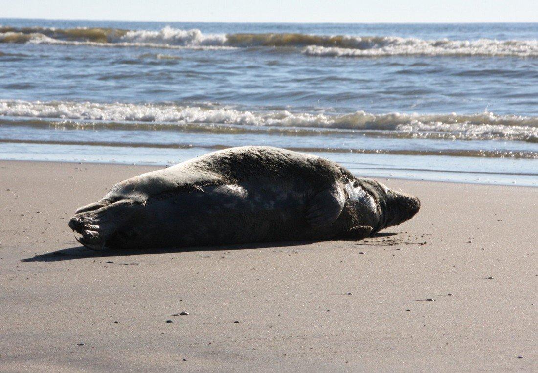 Melding zeehondje Zandvoort
