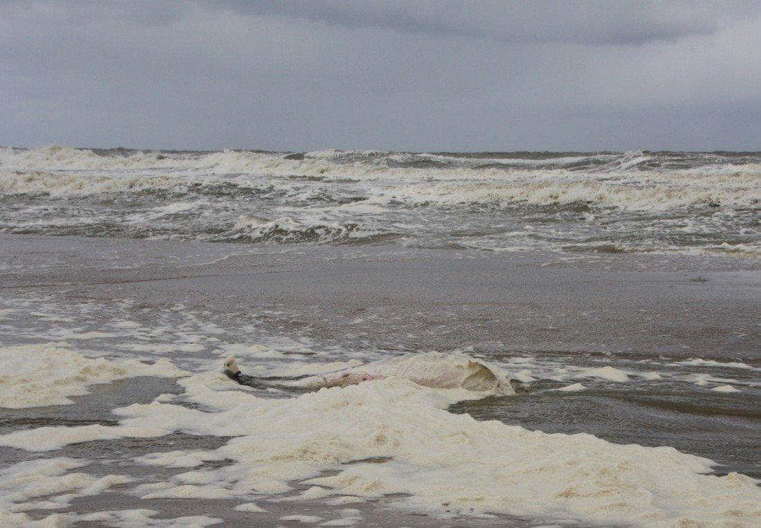 Dode bruinvis Duindamseslag Noordwijk