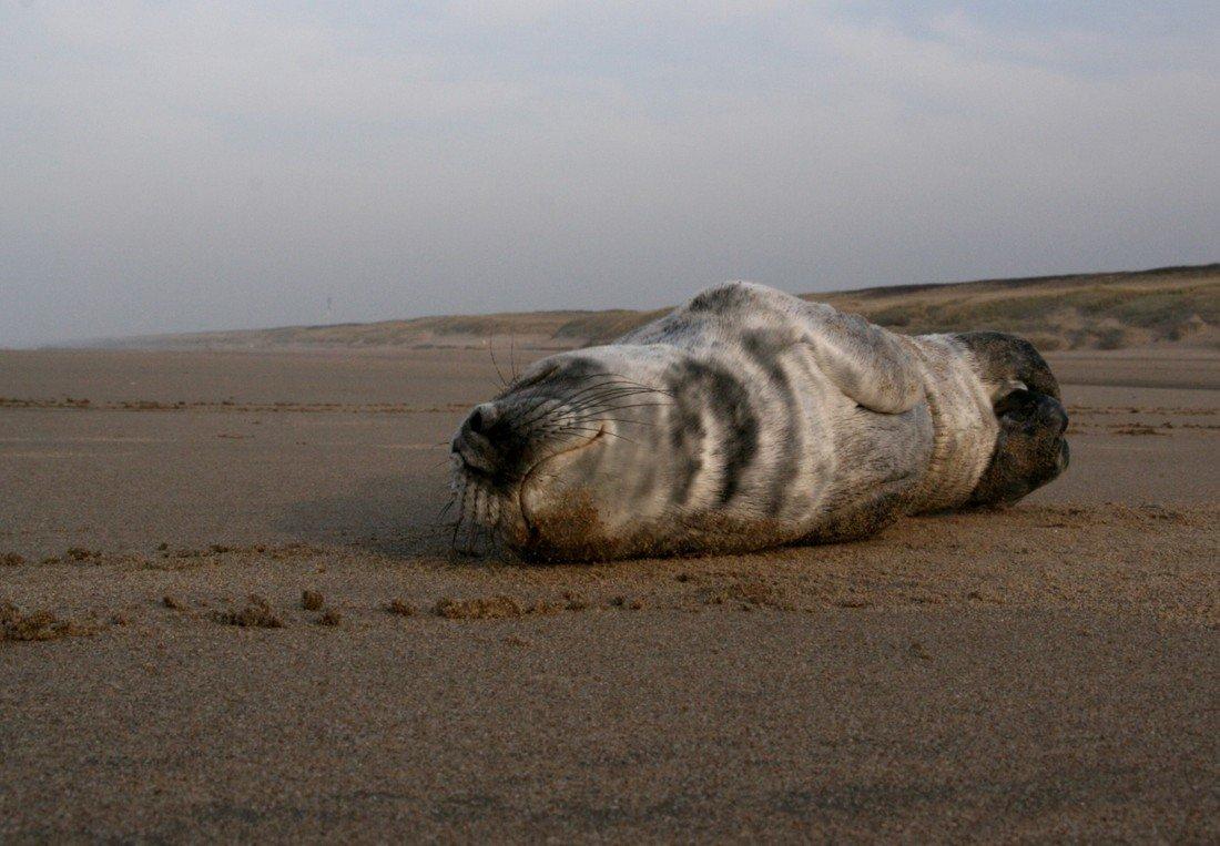 Jonge grijze zeehond Noordwijk