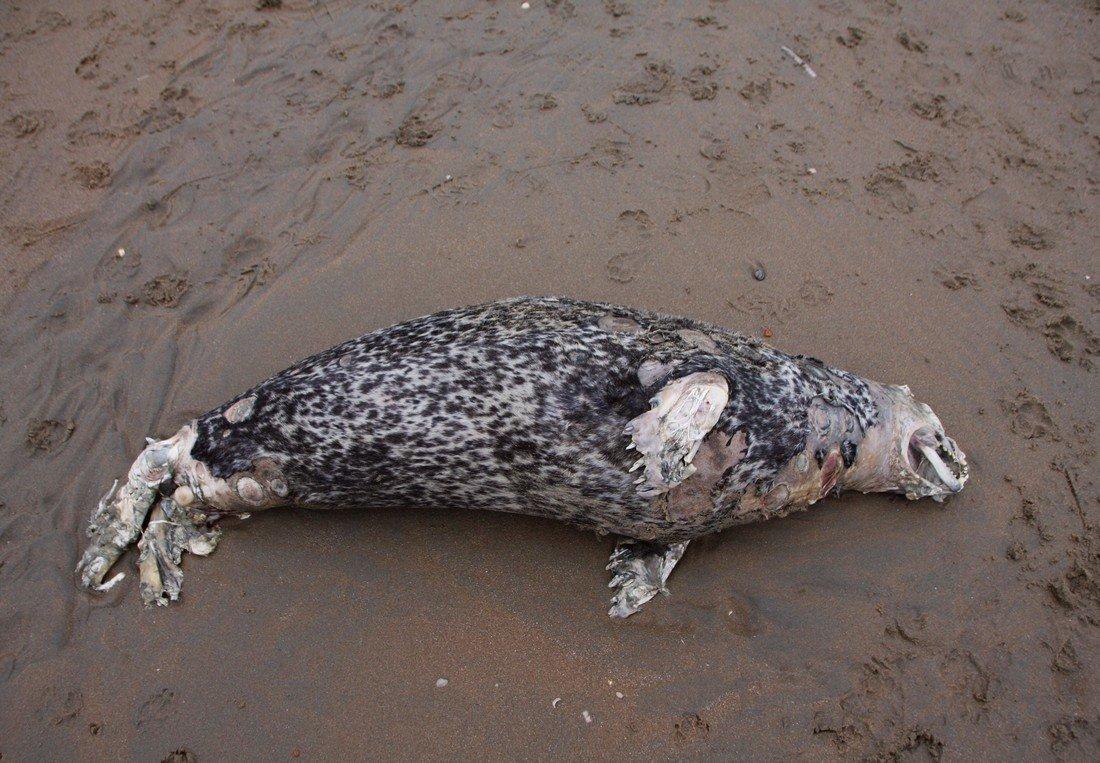 Dode zeehond Zandvoort