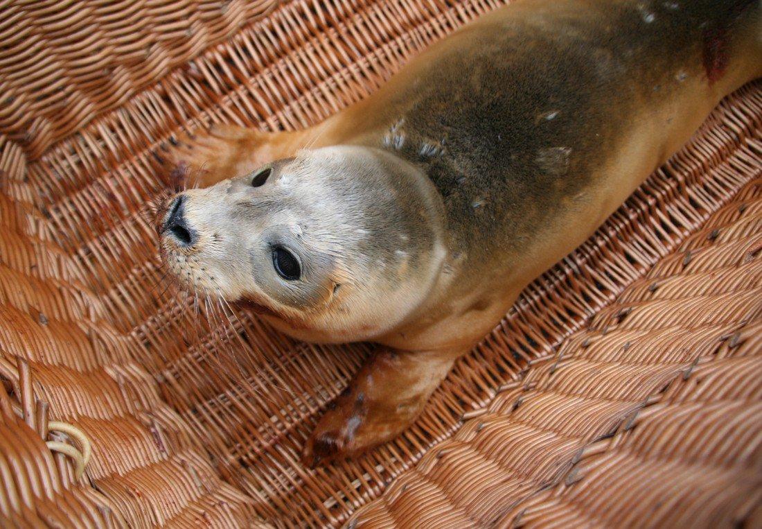 Jonge gewone zeehond Noordwijk.