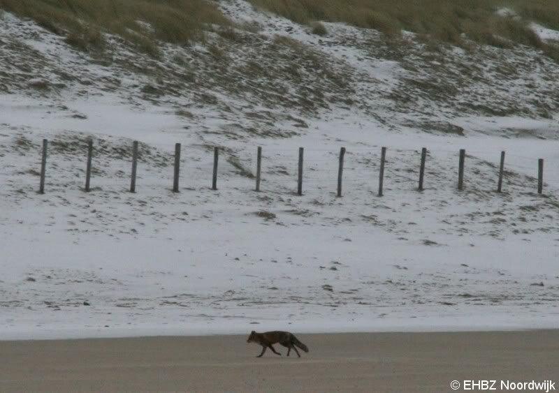 EHBZ spot vos op het strand Noordwijk