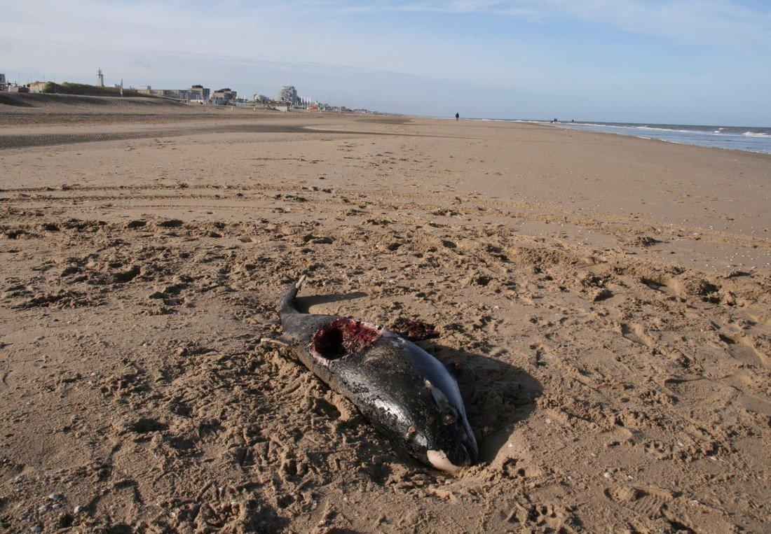 Dode bruinvis Noordwijk