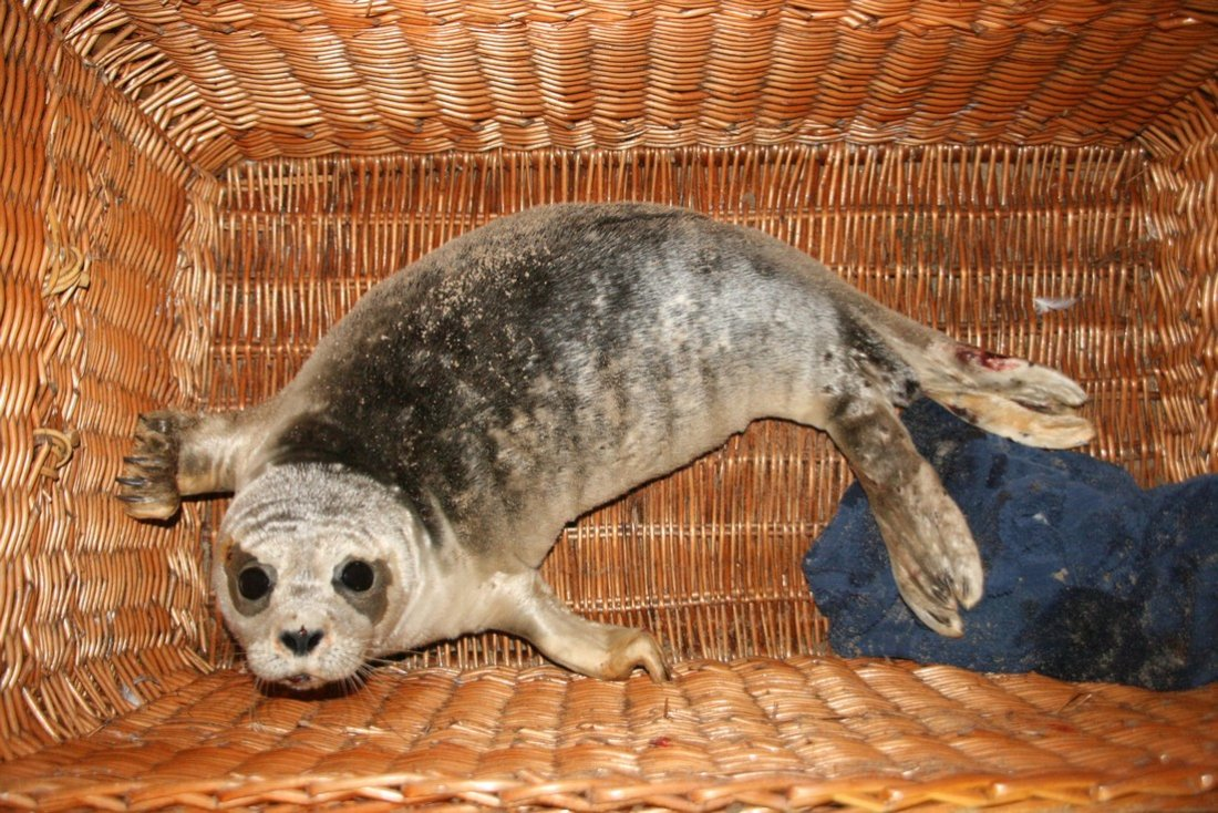 Jonge zeehond Zandvoort