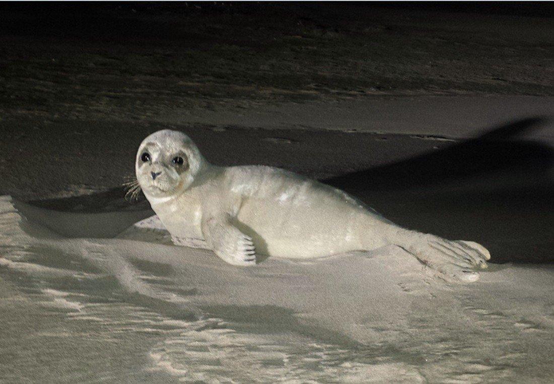 Zieke zeehond Langevelderslag Noordwijk