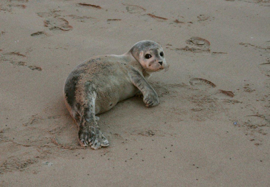 Jonge gewone zeehond Noordwijk