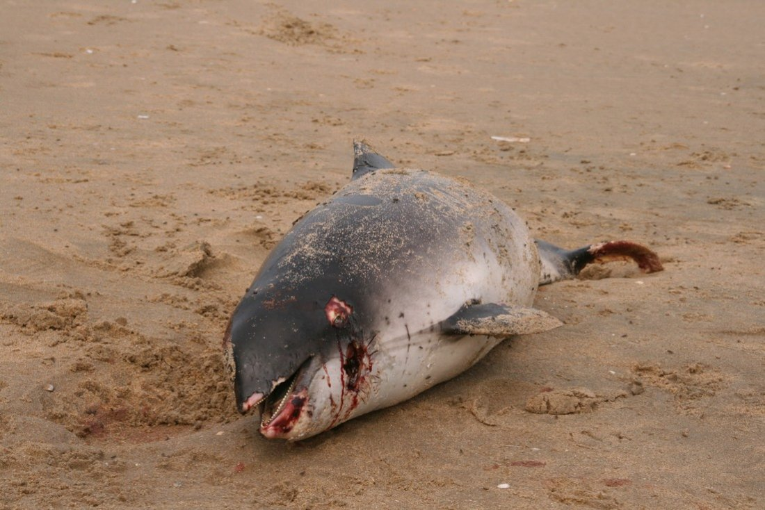 Dode bruinvis Katwijk