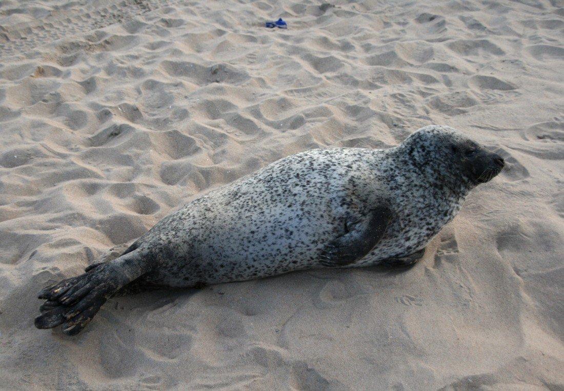 Zeehond nog steeds op het strand van Noordwijk