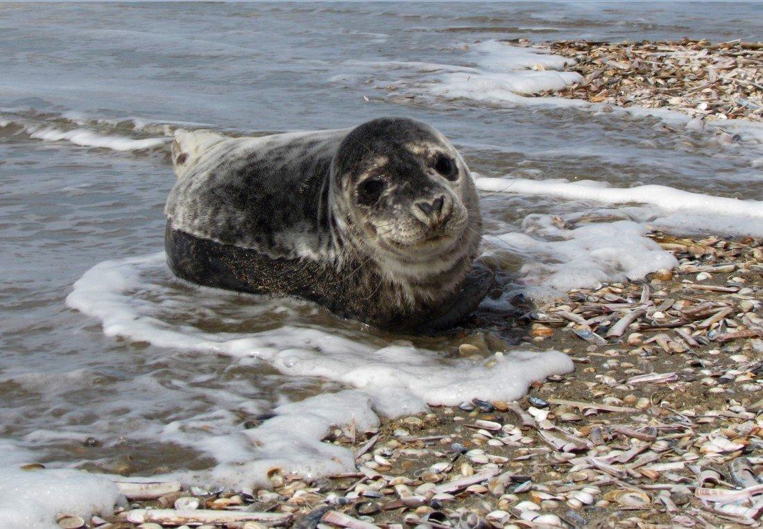 Jonge zeehond Langevelderslag Noordwijk