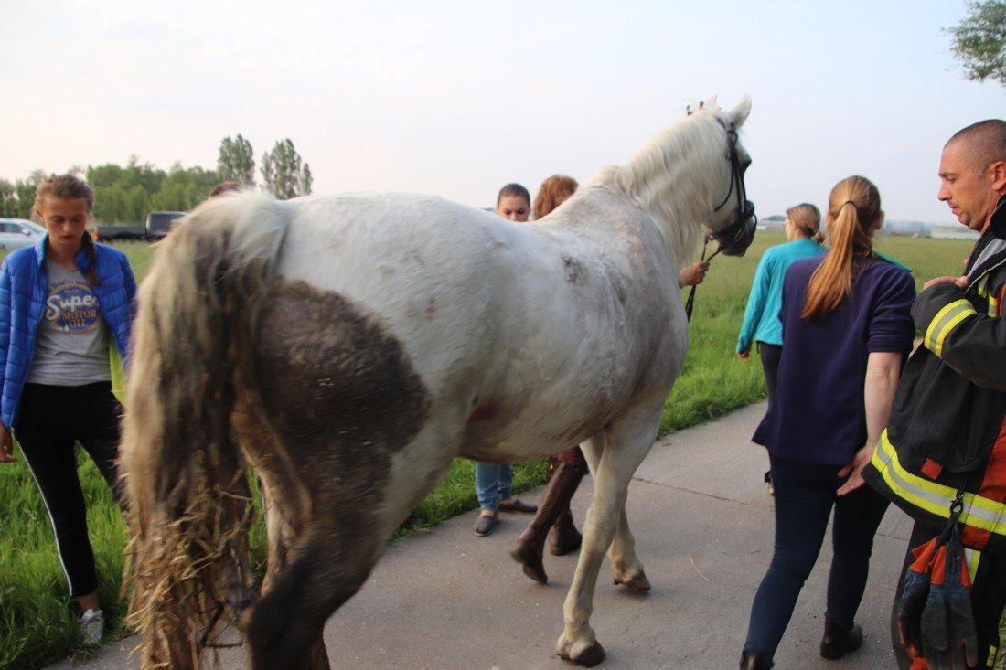 Paard in sloot Elsgeesterweg Rijnsburg