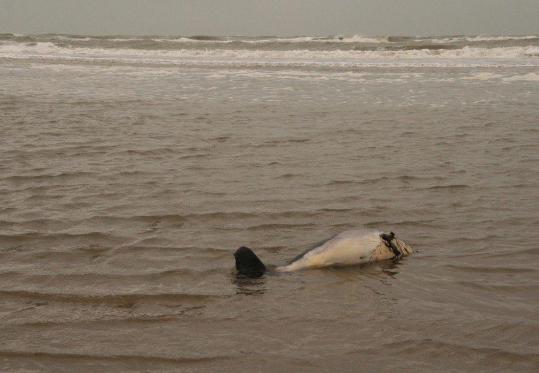 Dode bruinviskalf Noordwijk