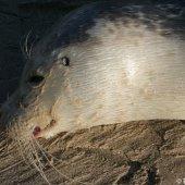 Dode zeehond Noordwijk