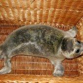Zieke zeehond Zandvoort