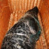 Jonge grijze zeehond raakt verstrikt in net Katwijk