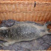 Zieke zeehond Monster