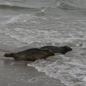 Zes zeehonden vrijgelaten Renesse.