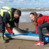 Dode bruinvis tussen IJmuiden-Bloemendaal