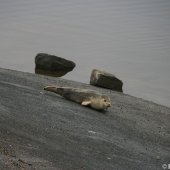 Katwijk loopt uit voor zeehond