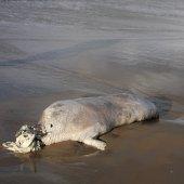 Dode zeehond strand Katwijk