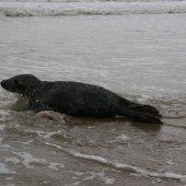 Jonge grijze zeehond strand afrit 22 Noordwijk.