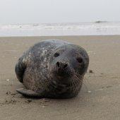 Tweede jonge grijze zeehond van vandaag Noordwijk