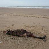 Dode bruinvis Bloemendaal