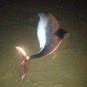 Levende bruinvis Ter Heijde