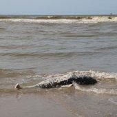 4e dode bruinvis vandaag voor de EHBZ Noordwijk